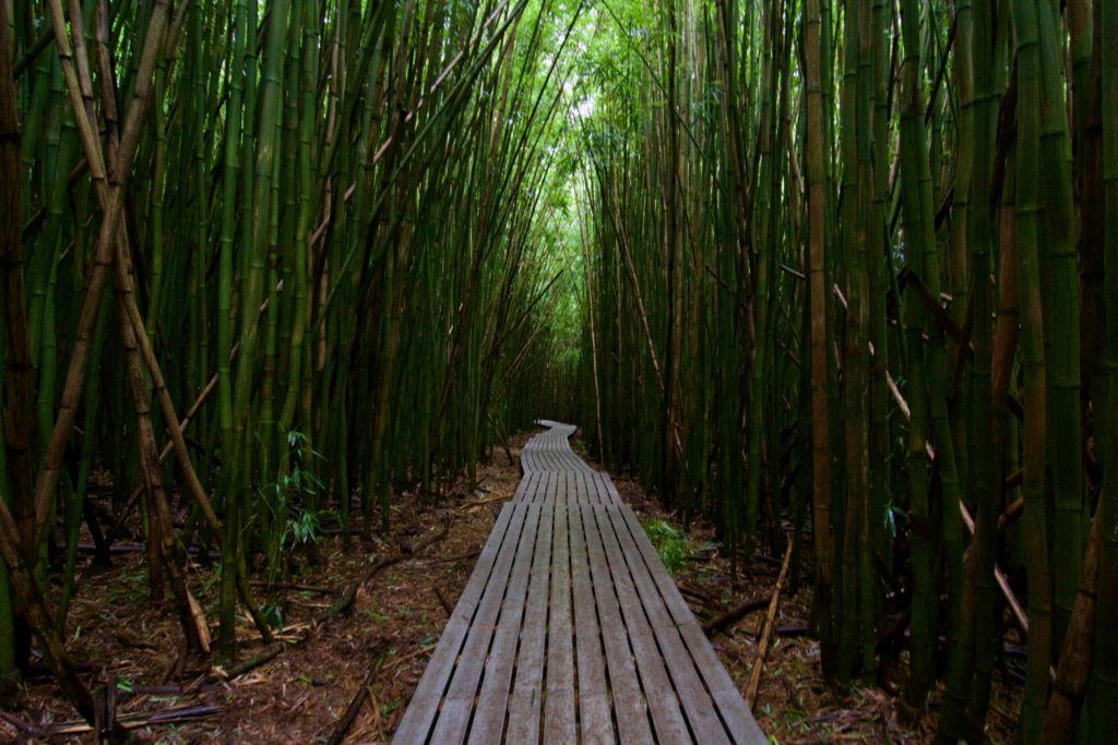 Maui's most famous bamboo forest located on Pipiwai trail. Haleakala National Park. What to do in Maui.