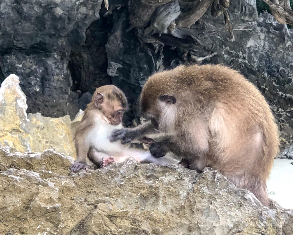 Monkeys at Monkey Beach Phi Phi Islands
